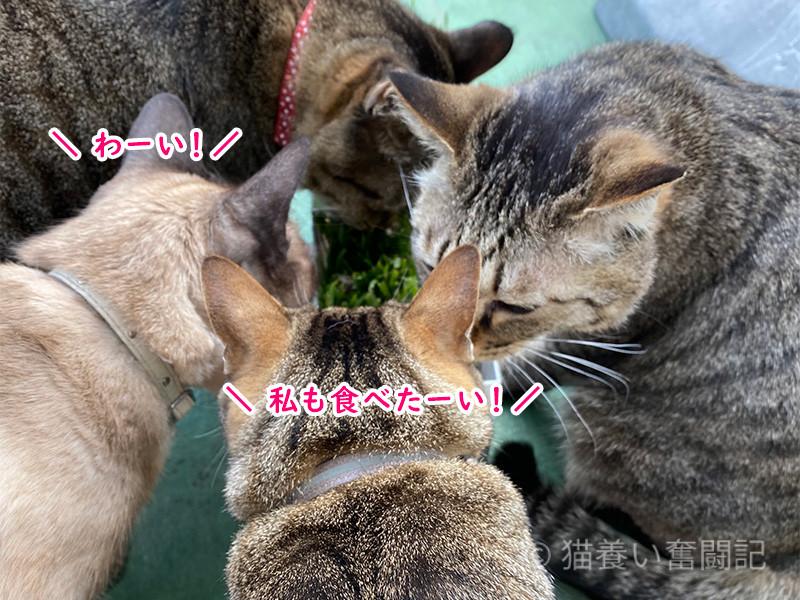 猫草大盛況